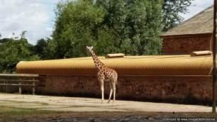 Chester Zoo giraffe