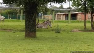 Chester Zoo zebra