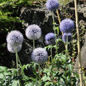 Photo Card - Purple Allium