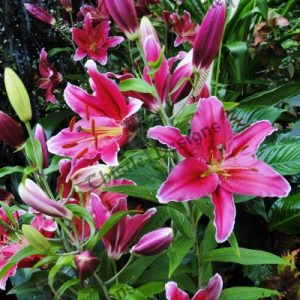 Photo Card - Pink Lilies