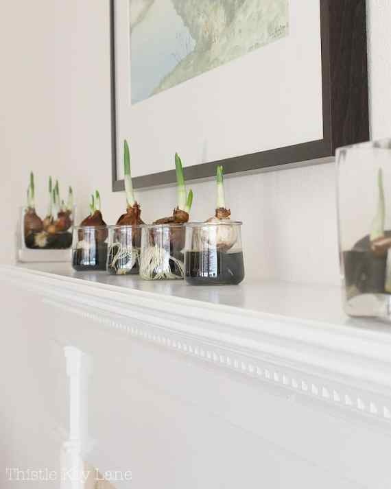 Try growing paperwhites in different size containers.