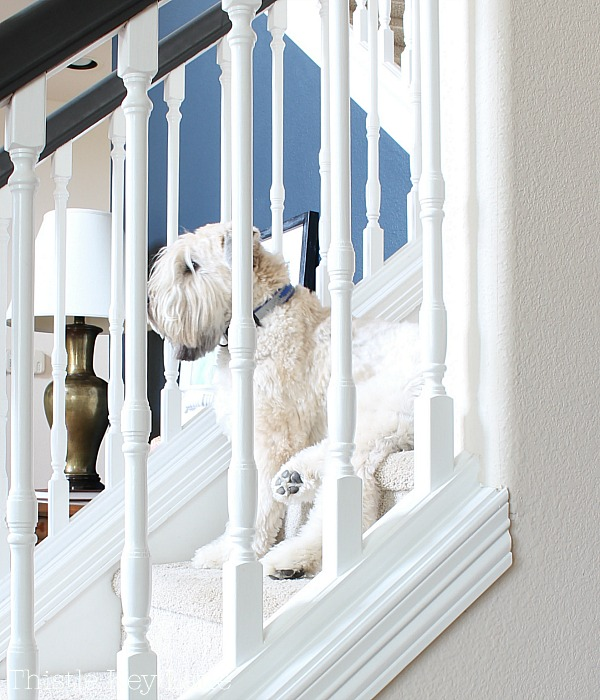 Aways guarding my wheaten terrier.