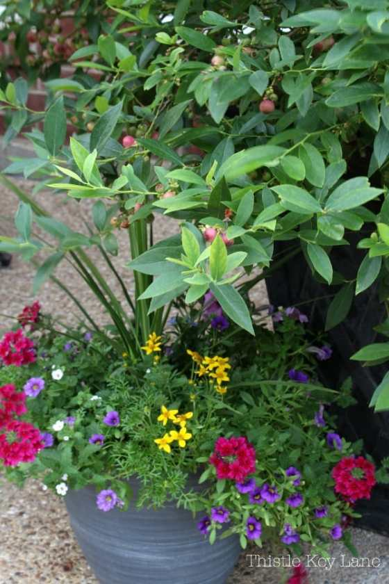 Blueberries and flowers in patio containers.