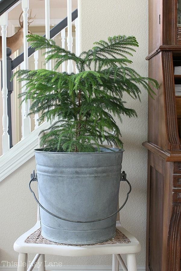 Ideas for decorating with plants in zinc bucket.