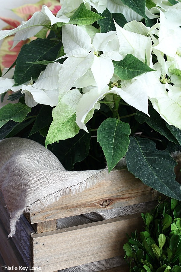 Close up of crate with linen fabric liner and white poinsettias.