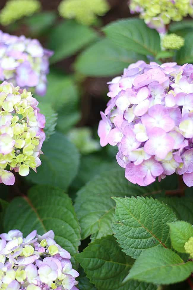 Healthy hydrangeas will stay in full bloom until fall.