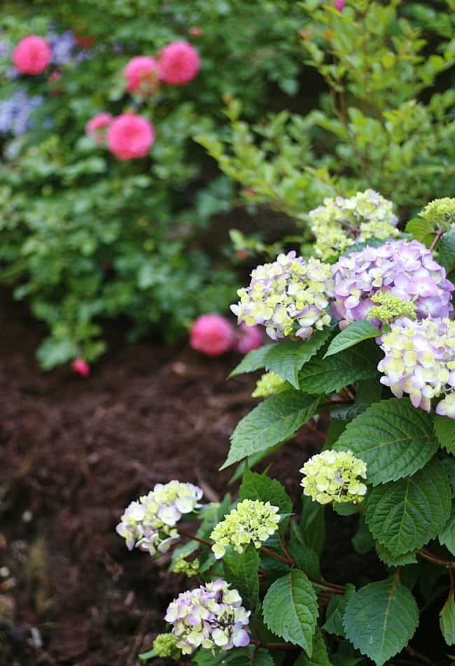 With enough care and attention, hydrangeas will blossom into beautiful flowers.