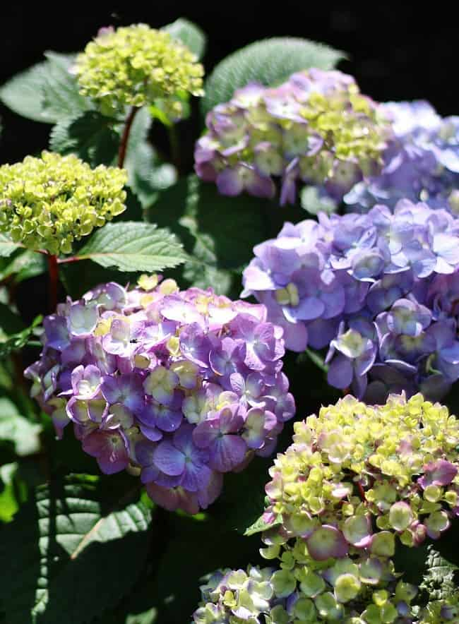 These beautiful purple hydrangeas make the perfect addition to any flower bed.