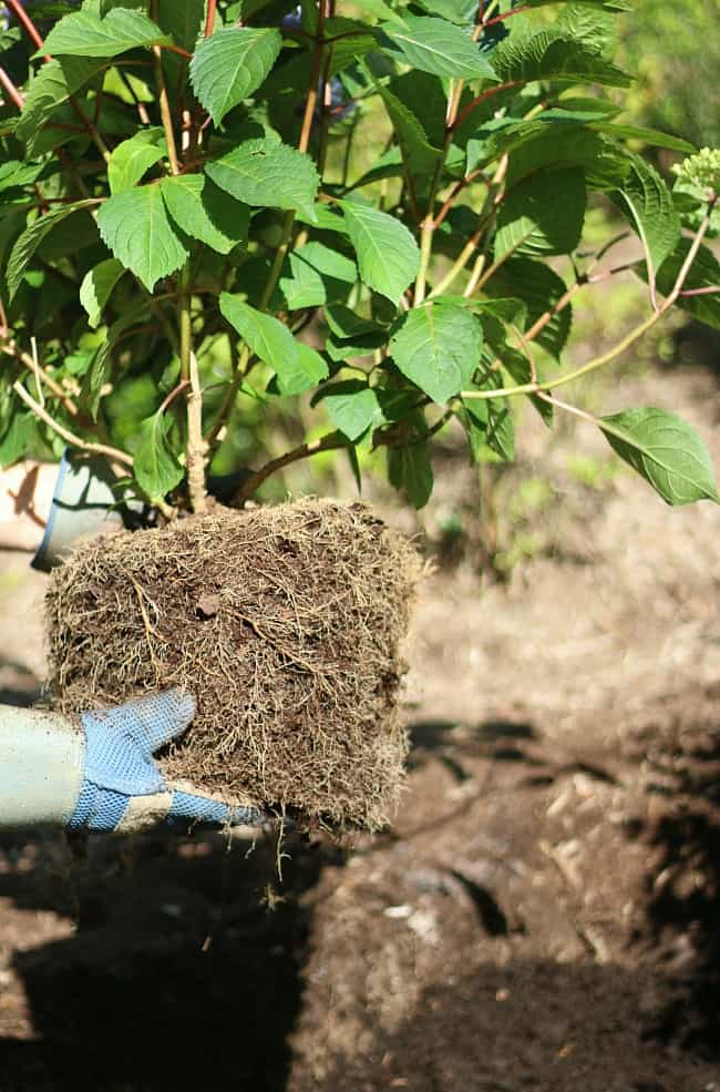 Ensure to check the roots of your hydrangea before planting.