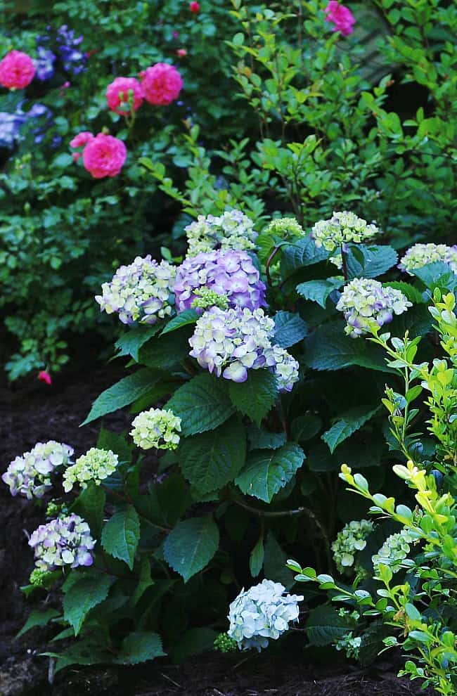 Colorful hydrangeas add a pop of color to your garden.