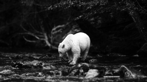 Spirit Bear (Kermode Bear), Great Bear Rainforest, British Columbia, Canada.