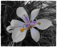 Flower01wm