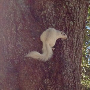 On the trail of the Brevard White Squirrel
