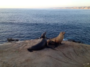 Seals at La Jolla Cove