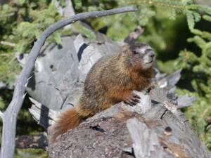 a yellow-bellied marmot waits on a log