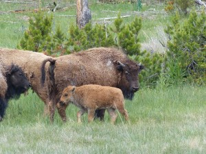 A bison calf - he needs to stay with his mama