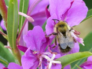 A bee enjoys the wildflowers at Apgar Lookout