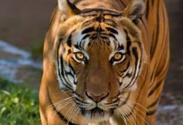Hổ cái Champawat - Sinh vật giết người nhiều nhất 1