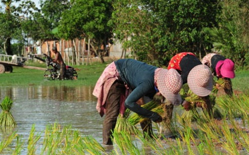 CambodiaRice