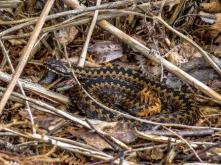 Adder 09042016 - web mw