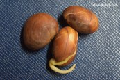 jackfruit seeds 5
