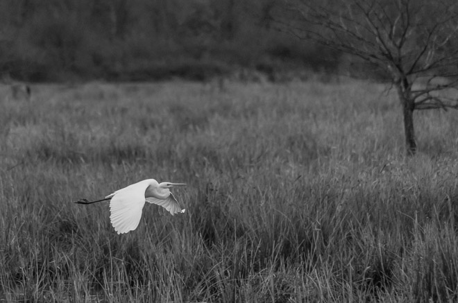 Photo d'une grande aigrette