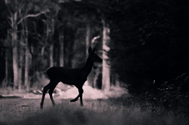 Silhouette de Chevreuil à la tombée de la nuit
