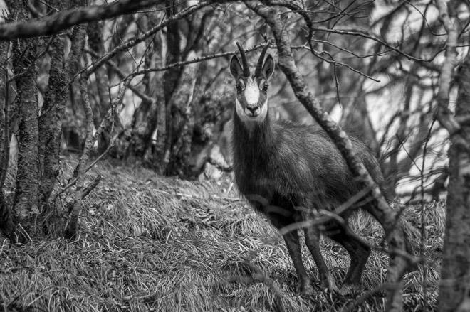 un chamois qui ne m'a pas vu grâce à mon camouflage