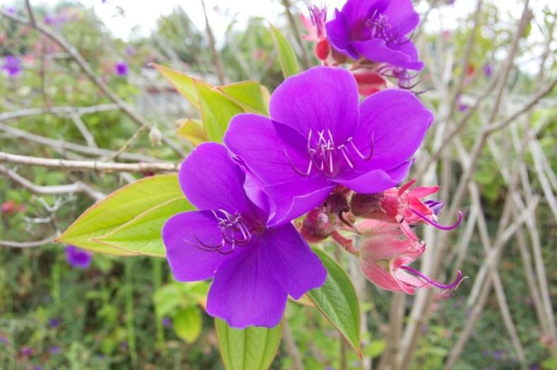 Madeira Blume