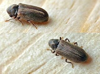 Image of Anobium punctatum or Furniture Beetle Image ©entomart via Wikimedia commons