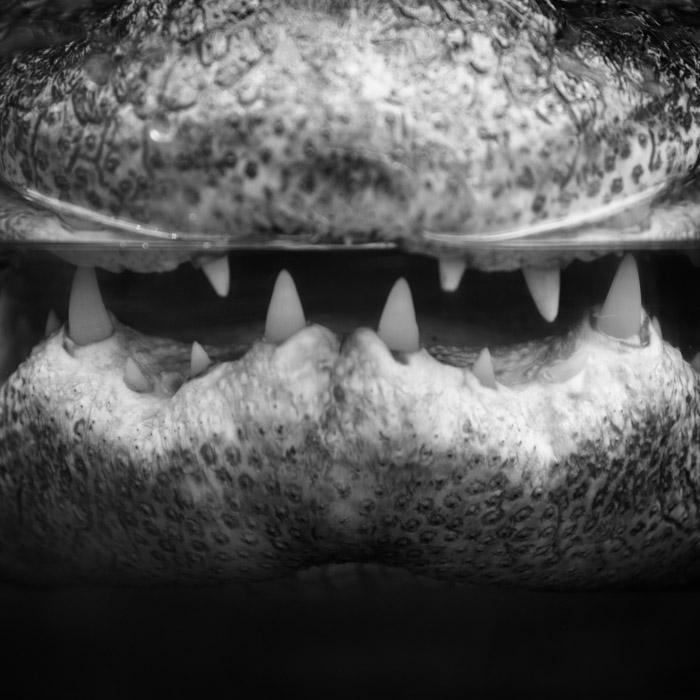 Projet 52 - Crocodile au zoo de Beauval