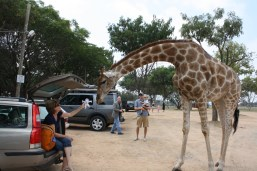 Giraffe got loose and decided to visit us in the parking lot