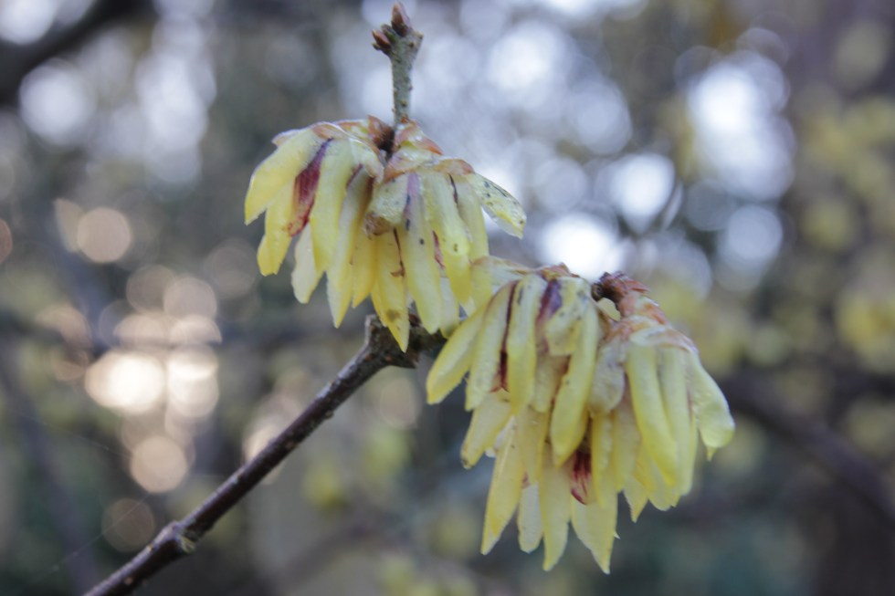 chimanathus praecox Plant of the week Chimonanthus praecox