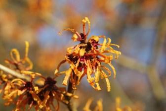 hamamelis x intermedia orange peel Hamamelis, the winter Witches of Sir Harold Hillier Gardens