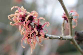 hamamelis-x-intermedia-strawberries-and-cream-3