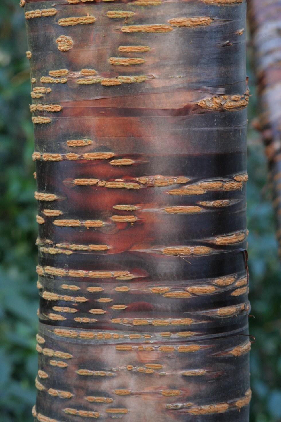 himalaica3 Plant of the week Prunus himalaica