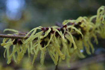 pallida Hamamelis, the winter Witches of Sir Harold Hillier Gardens