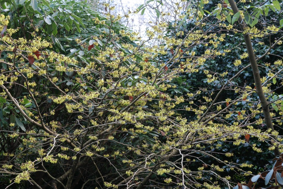 pallida2 Hamamelis, the winter Witches of Sir Harold Hillier Gardens