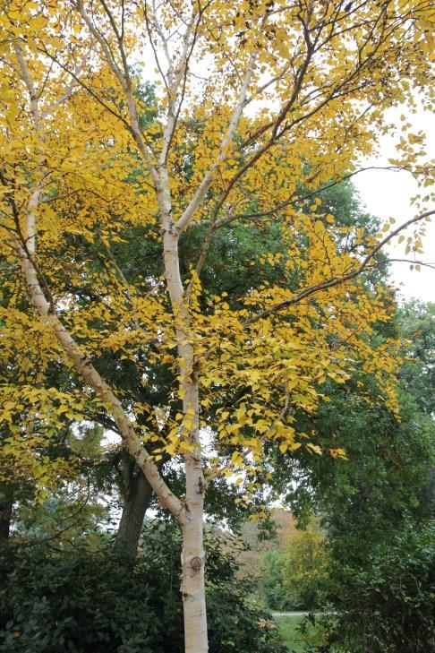 betula ermanii grayswood ghost 21 Plant of the week Betula ermanii