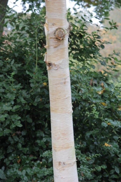 betula ermanii grayswood ghost 3 Plant of the week Betula ermanii