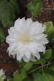 clematis-artic-queen