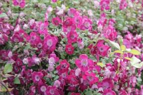 clematis avate garde 2 Job of the week  pruning clematis