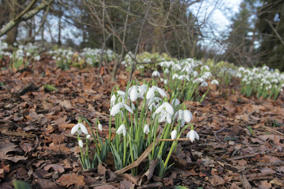 galanthus mrs w m george 81 Plant of the week Galanthus Mrs W.G.George
