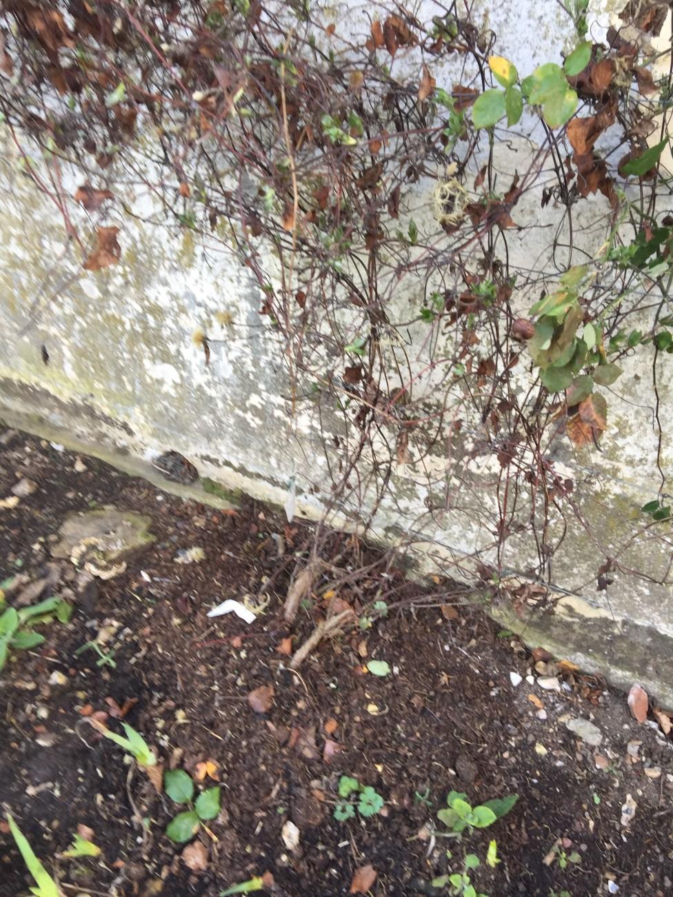 img 1839 Job of the week  pruning clematis