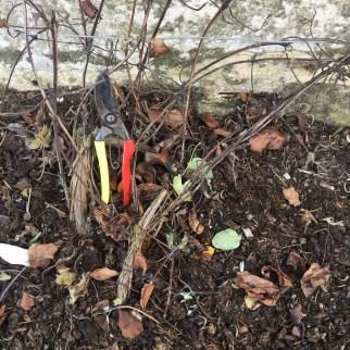 img 1841 Job of the week  pruning clematis