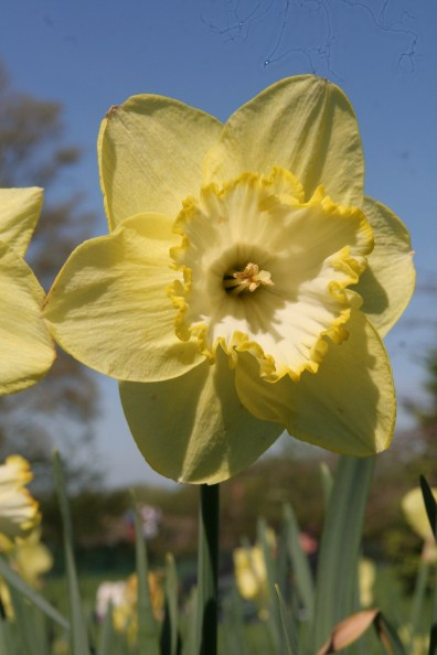 narcissus-cornish-gold