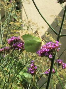 20150901 121017319 ios Planting herbaceous plants for Butterflies and Bees