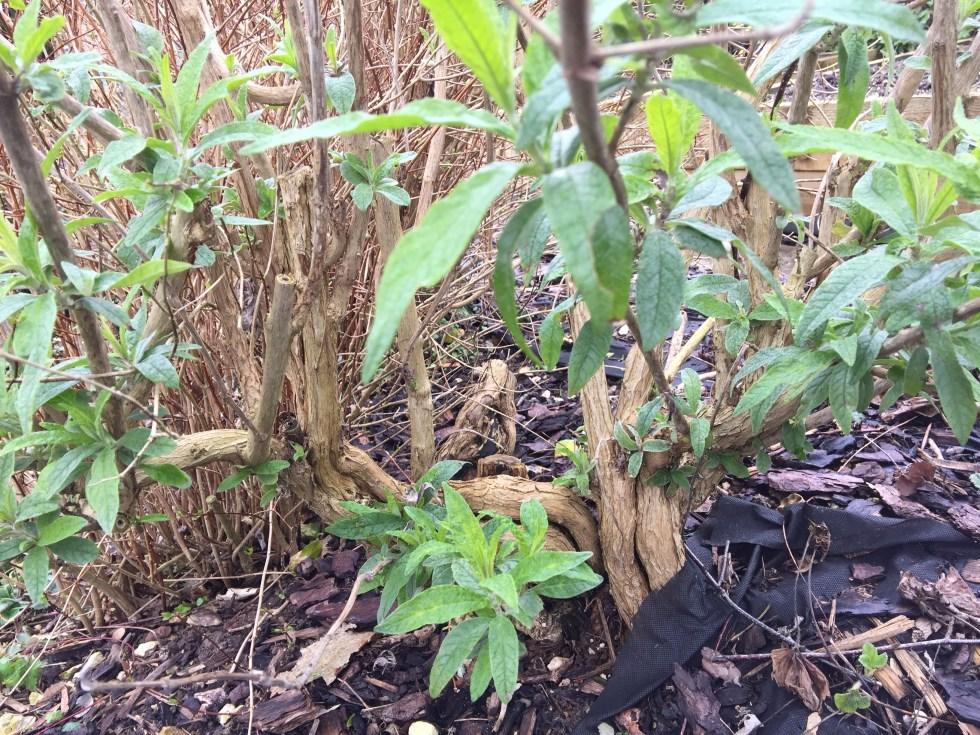 img 2126 Job of the week  Pruning Buddleja