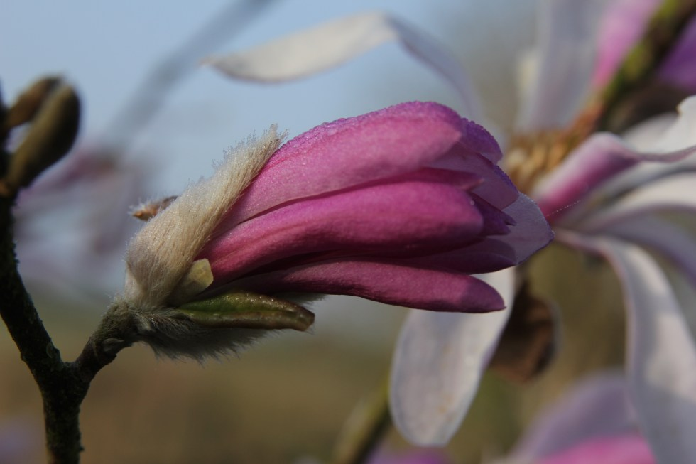 img 3419 Plant of the week  Magnolia x loebneri Leonard Messel