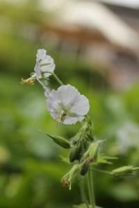 phaeum alba Plant of the week  Geranium phaeum